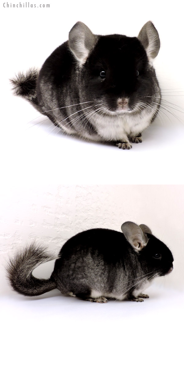 14233 Show Quality Black Velvet ( Violet Carrier ) Male Chinchilla
