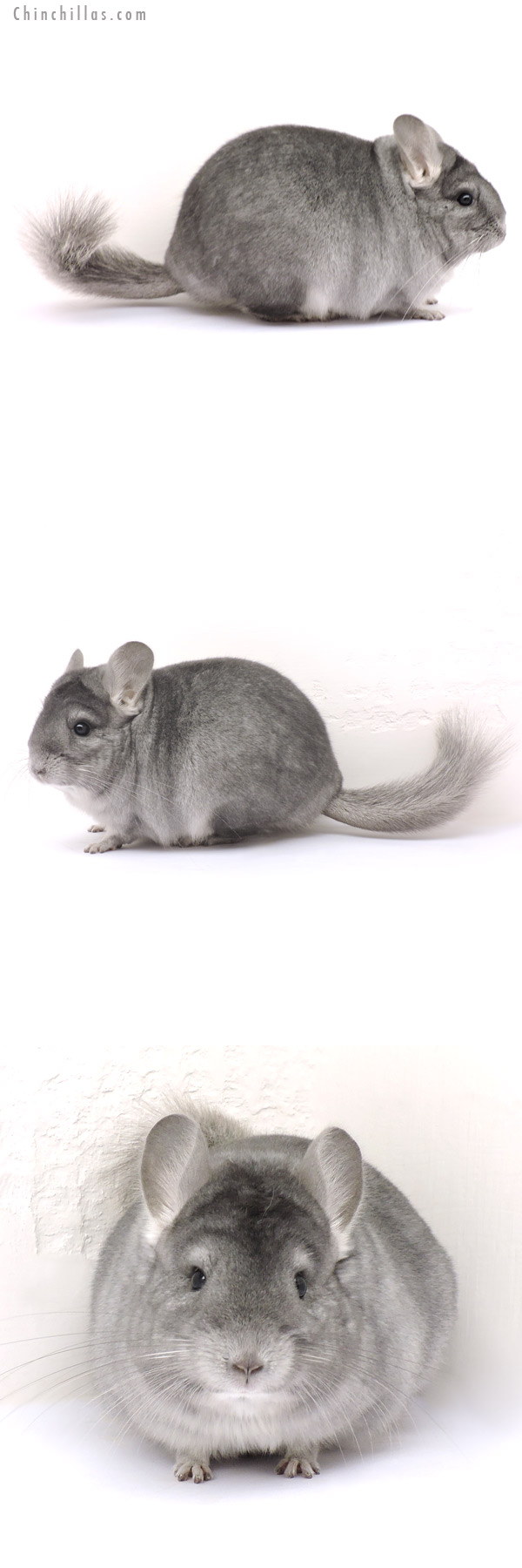 14263 Large Blocky Show Quality Sapphire Female Chinchilla