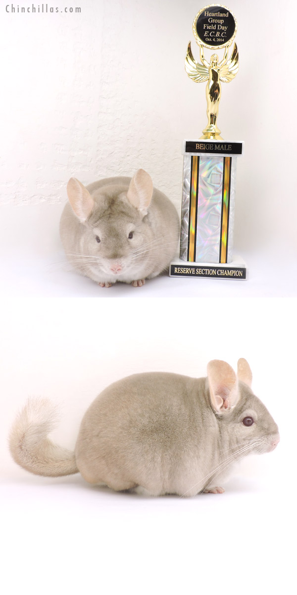 14257 Large Reserve Section Champion Homo Beige Male Chinchilla