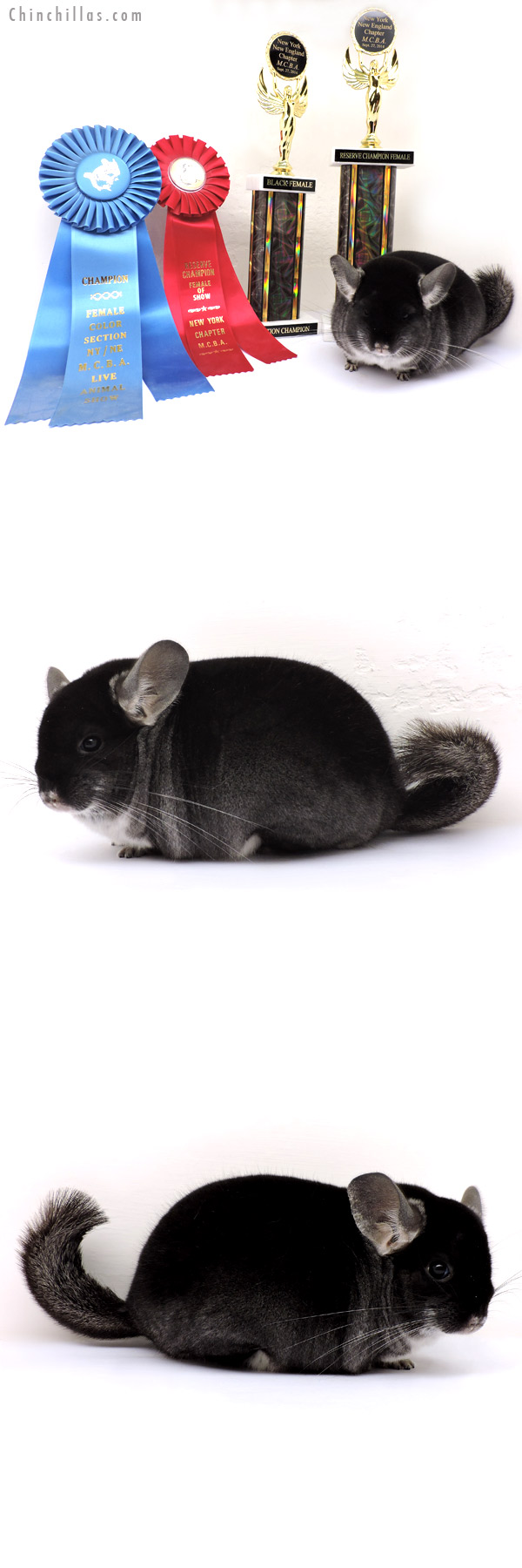 14247 Black Velvet Female - Section Champion & Reserve Champion Female of Show Chinchilla
