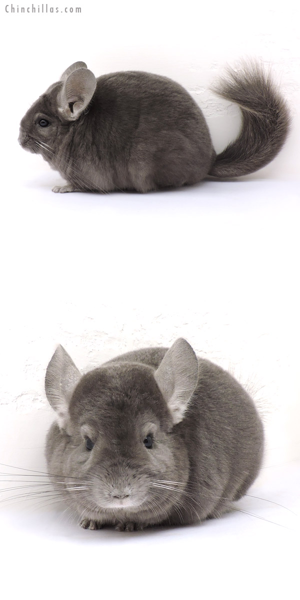 14270 Wrap Around Violet Female Chinchilla