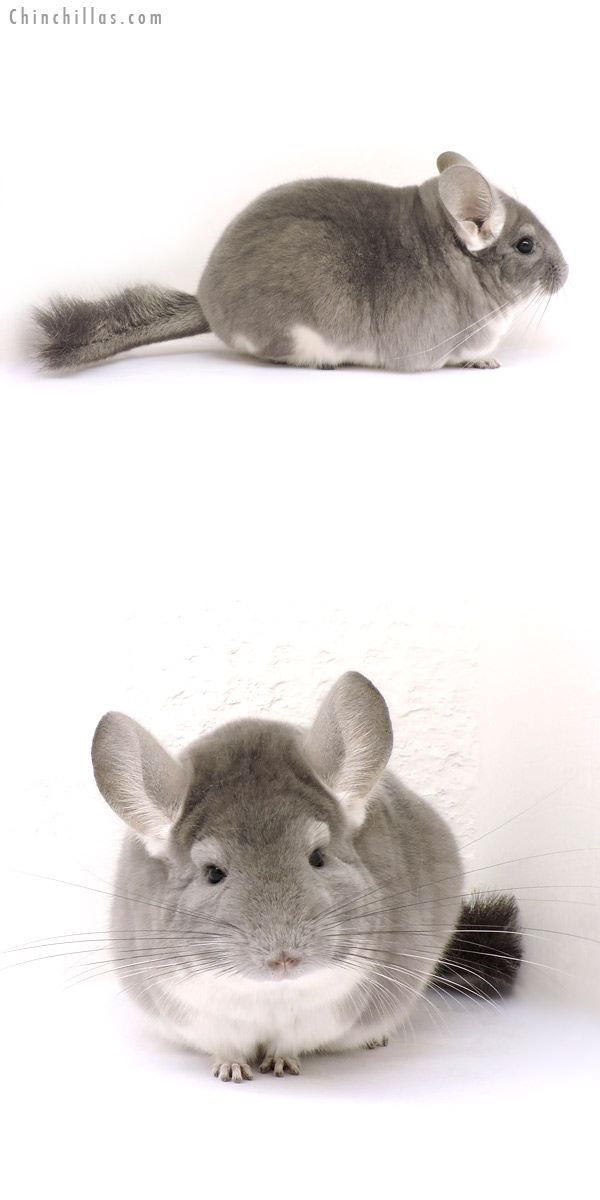 14271 Large Premium Production Quality Violet Female Chinchilla