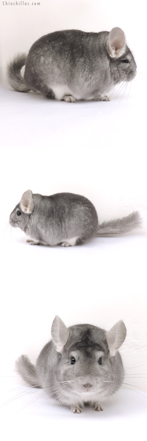 14256 Extra Blocky Herd Improvement Quality Sapphire Male Chinchilla