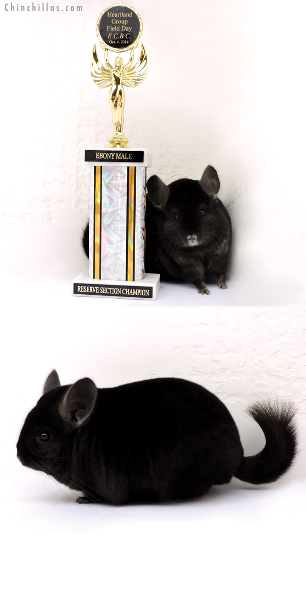 14259 Reserve Section Champion Ebony Male Chinchilla