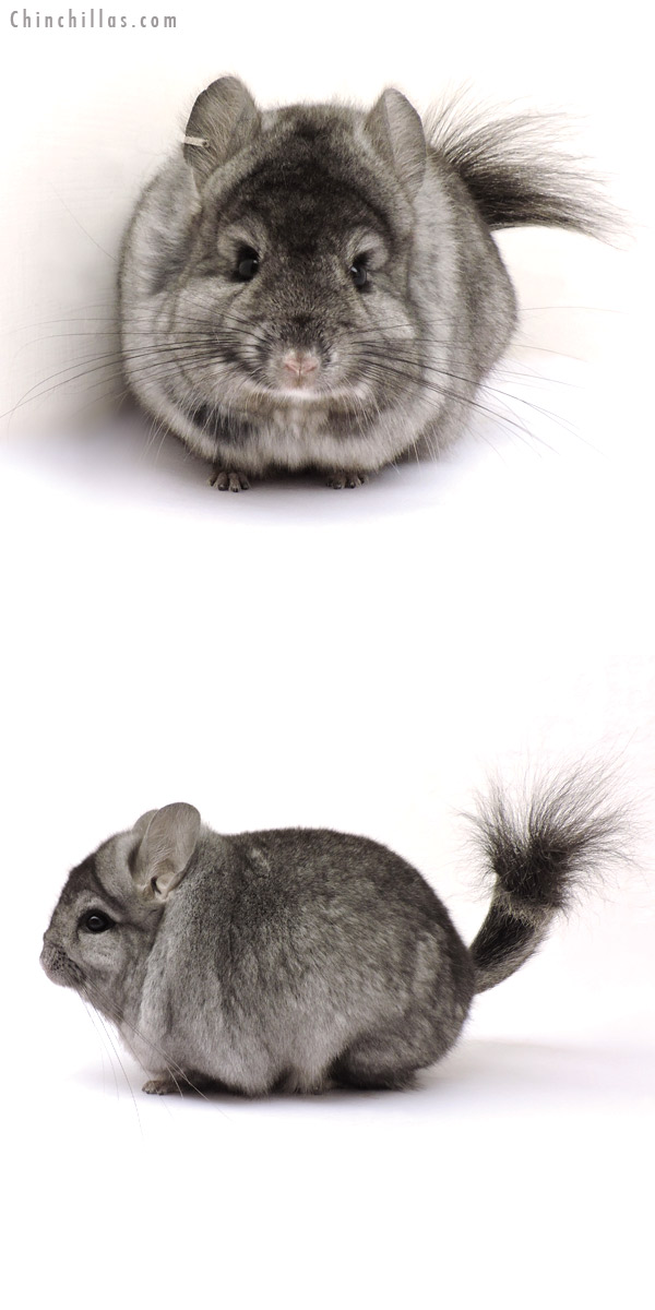 14227 Exceptional Ebony CCCU Royal Persian Angora Male Chinchilla