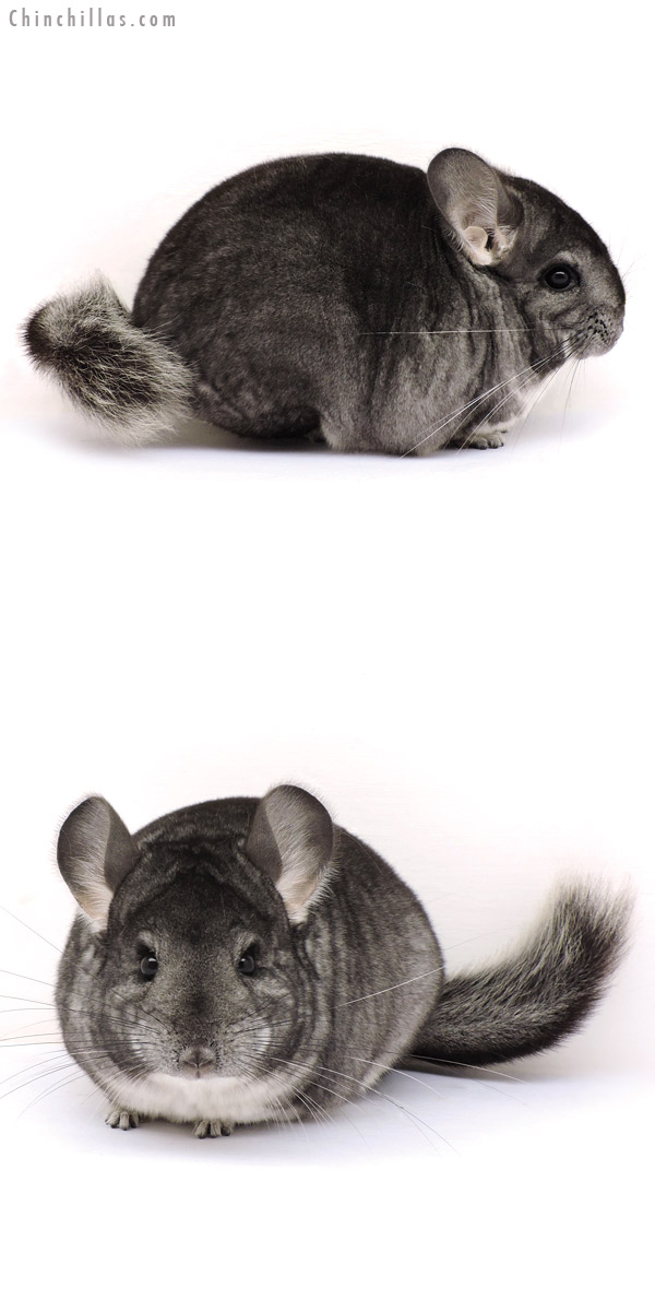 14286 Show Quality Standard Female Chinchilla