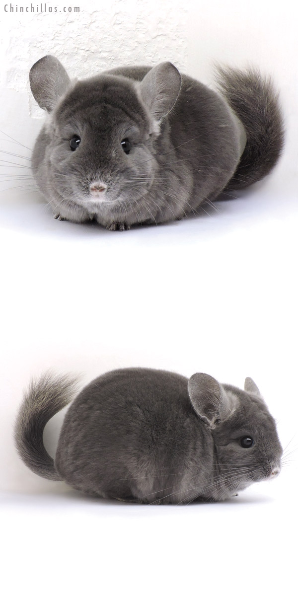 14300 Premium Production Quality Wrap Around Violet Female Chinchilla