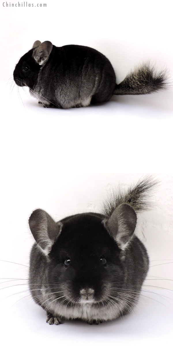 14310 Herd Improvement Quality Black Velvet ( Ebony Carrier ) Male Chinchilla