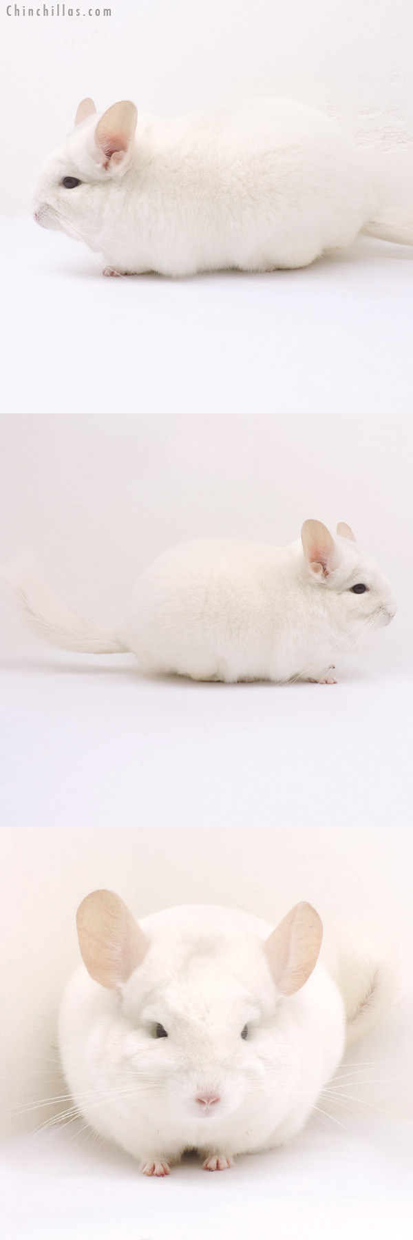 14314 Herd Improvement Quality Pink White Male Chinchilla