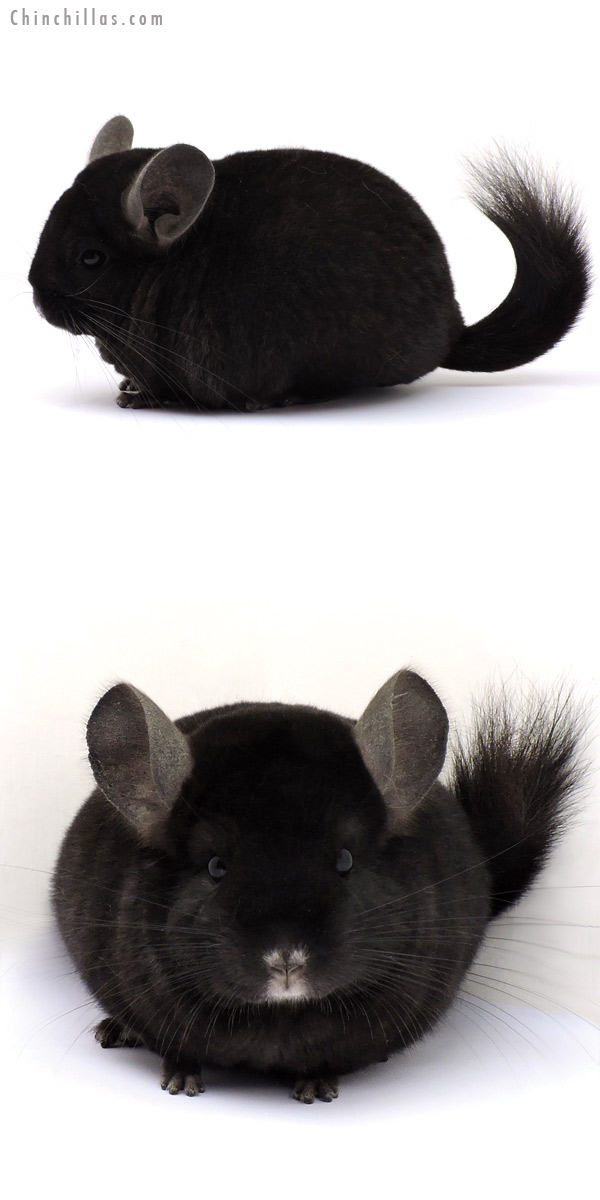 14320 Exceptional Ebony ( Locken Carrier ) Female Chinchilla