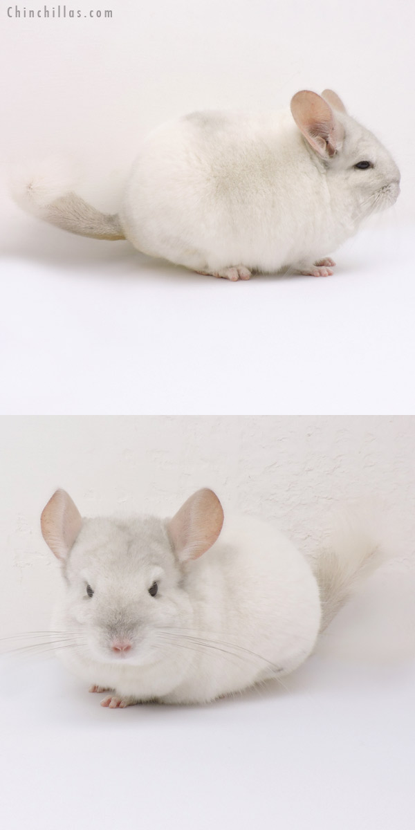14325 Large Blocky Premium Production Quality Beige & White Mosaic Female Chinchilla