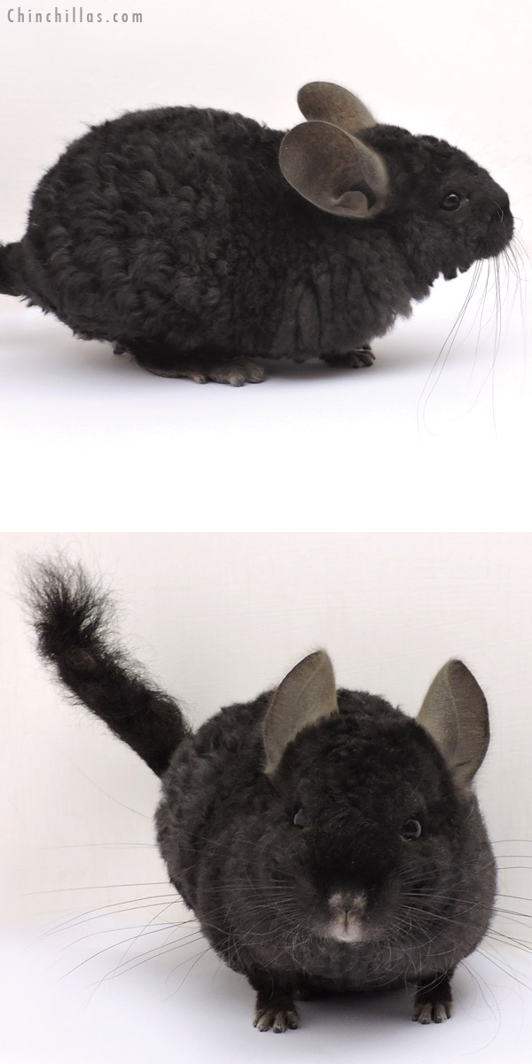 14324 Exceptional Ebony Full Locken Male Chinchilla