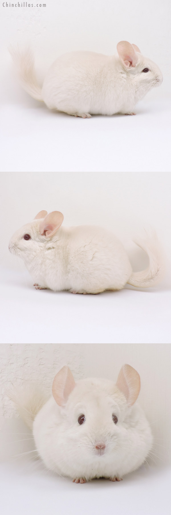 14330 Large Exceptional Goldbar Female Chinchilla
