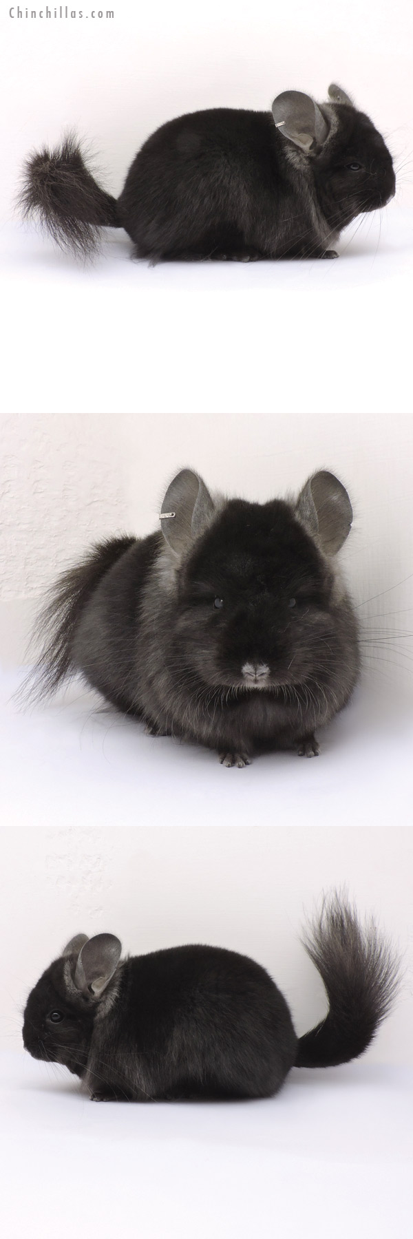 14346 Ebony CCCU Royal Persian Angora Female Chinchilla