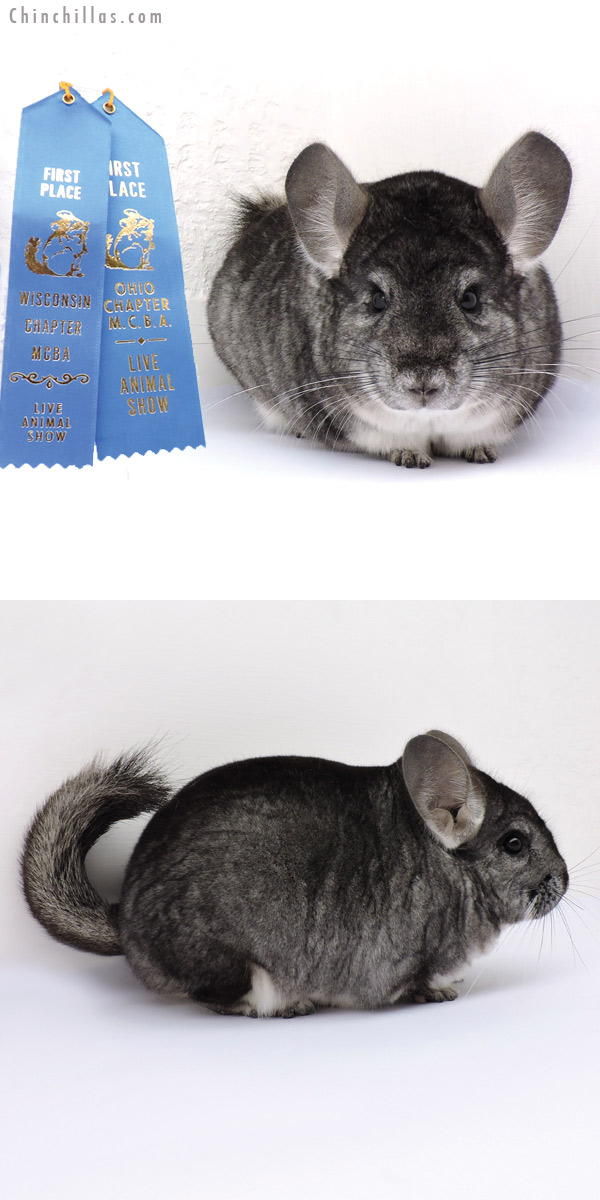 14339 Extra Large Multi 1st Place Standard Male Chinchilla
