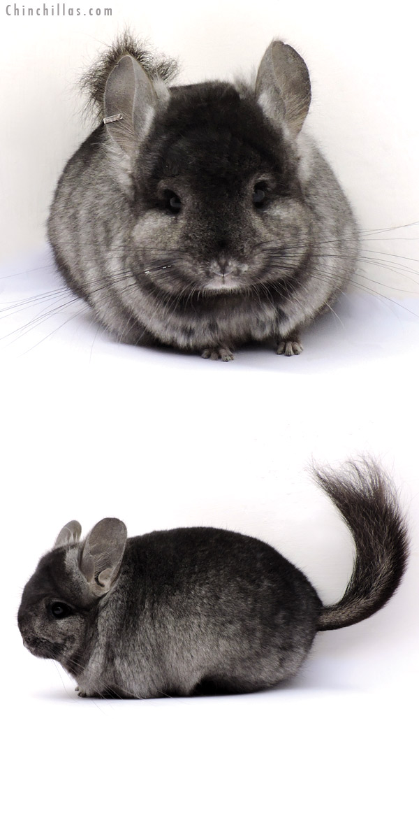 14356 Ebony CCCU Royal Persian Angora Female Chinchilla