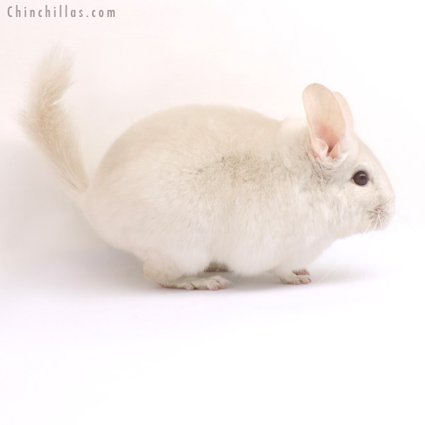 14349 Goldbar Female Chinchilla