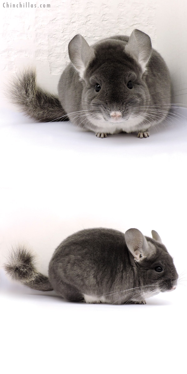 14359 Premium Production Quality TOV Violet Female Chinchilla