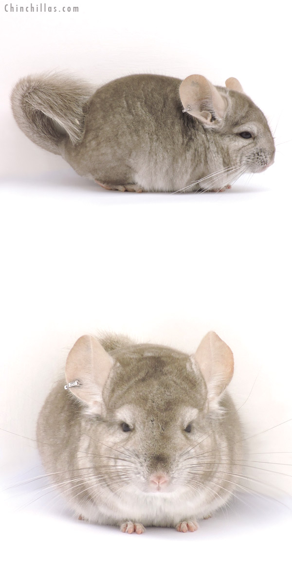 14344 Beige ( CCCU Royal Persian Angora Carrier ) Male Chinchilla