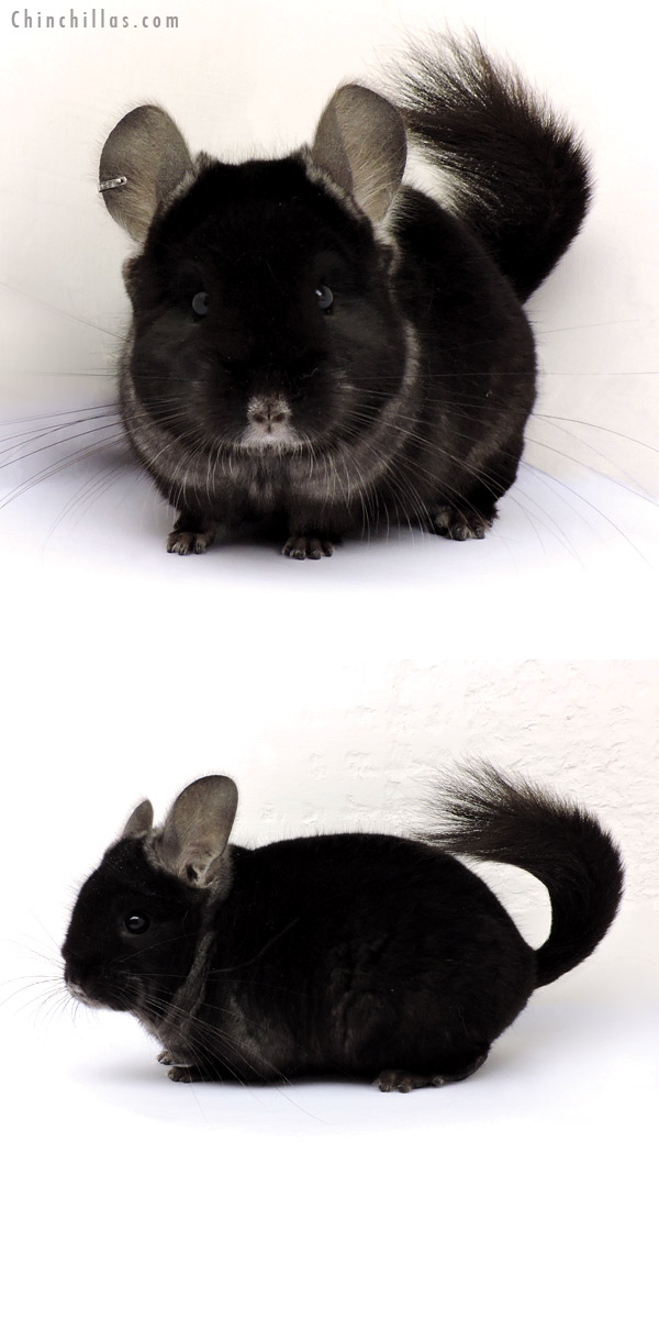 15010 TOV Ebony ( CCCU Royal Persian Angora Carrier ) Male Chinchilla