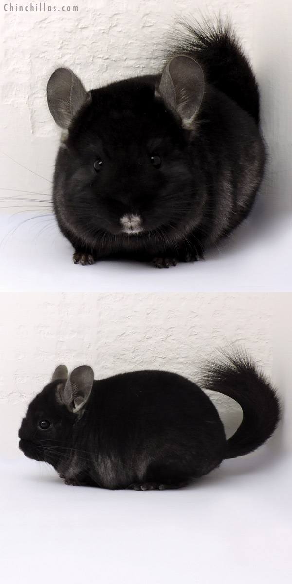 15011 Exceptional Ebony ( CCCU Royal Persian Angora Carrier ) Female Chinchilla