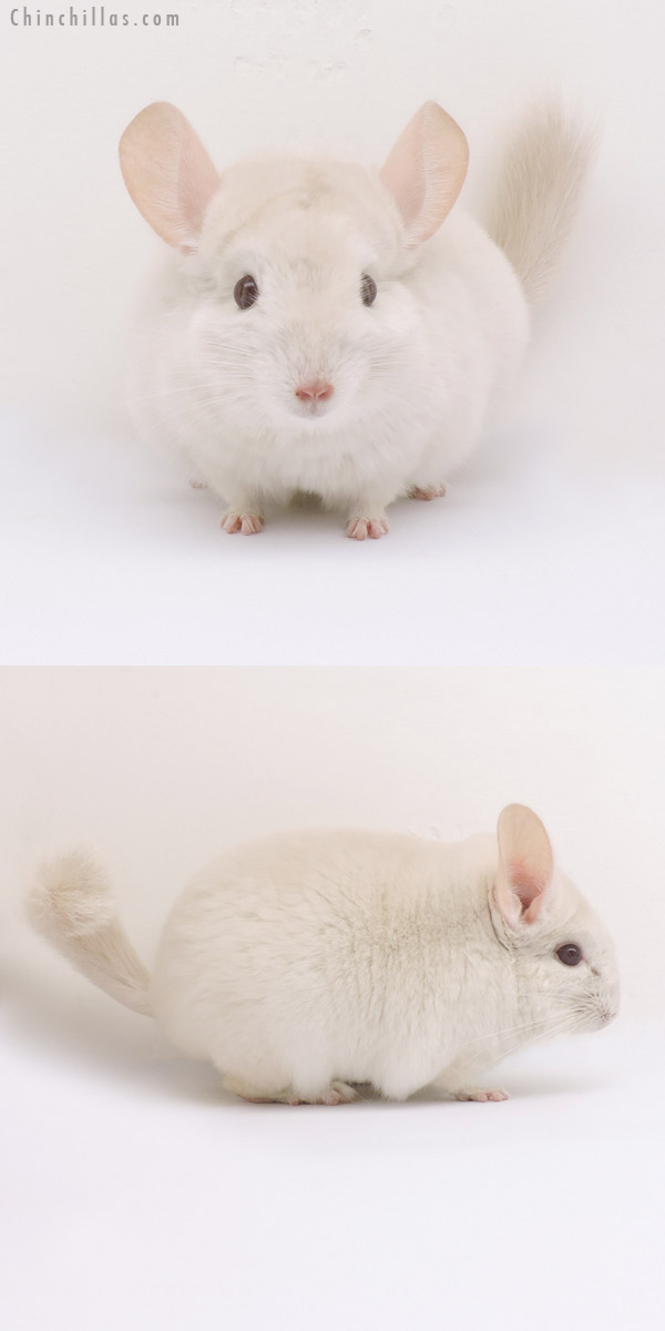 14333 Goldbar Female Chinchilla