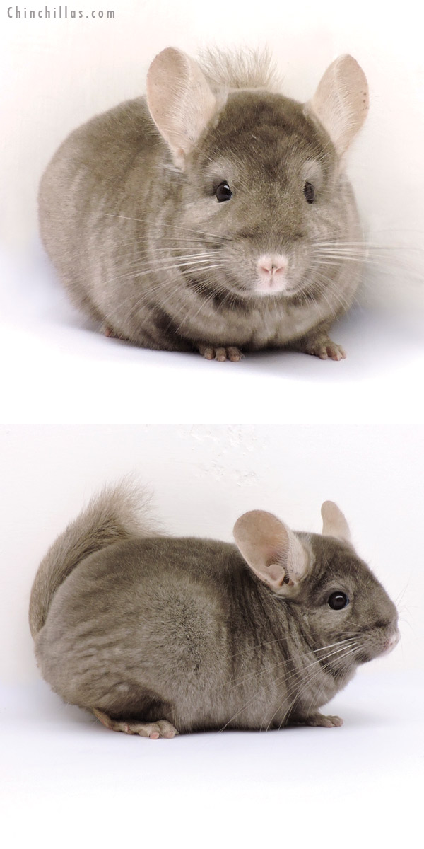 14352 Premium Production Quality Tan Female Chinchilla