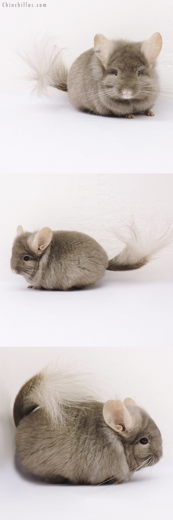 15025 Rare Tan CCCU Royal Persian Angora Male Chinchilla