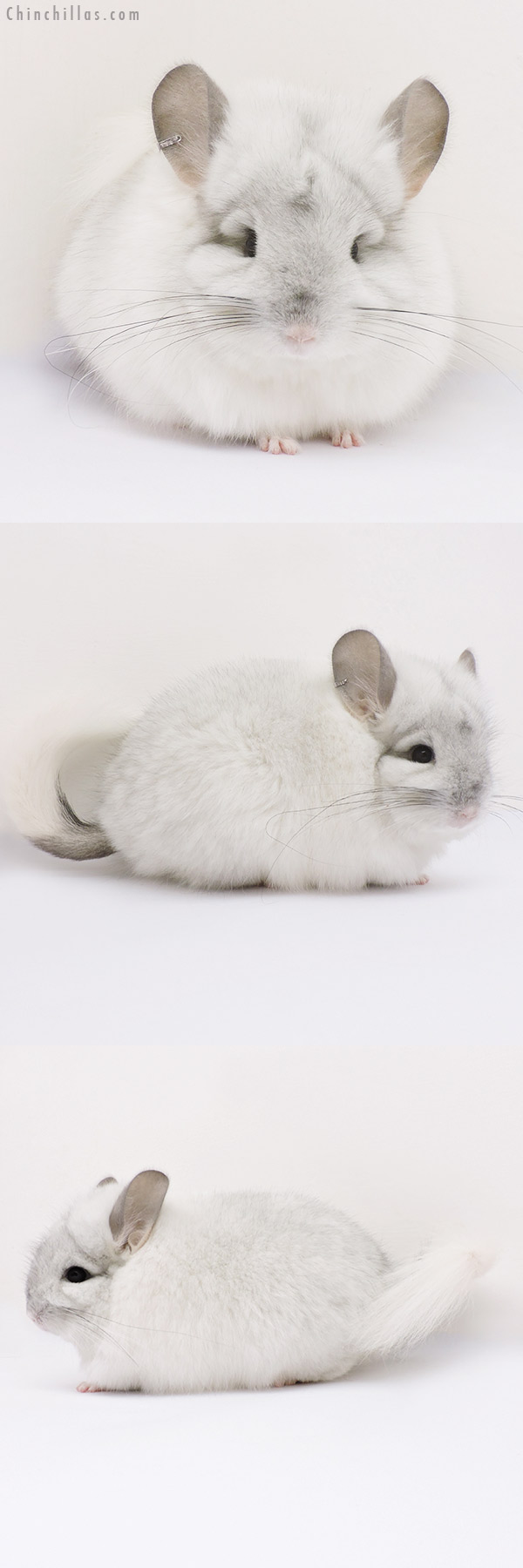 15016 Exceptional Silver Mosaic CCCU Royal Persian Angora Female Chinchilla
