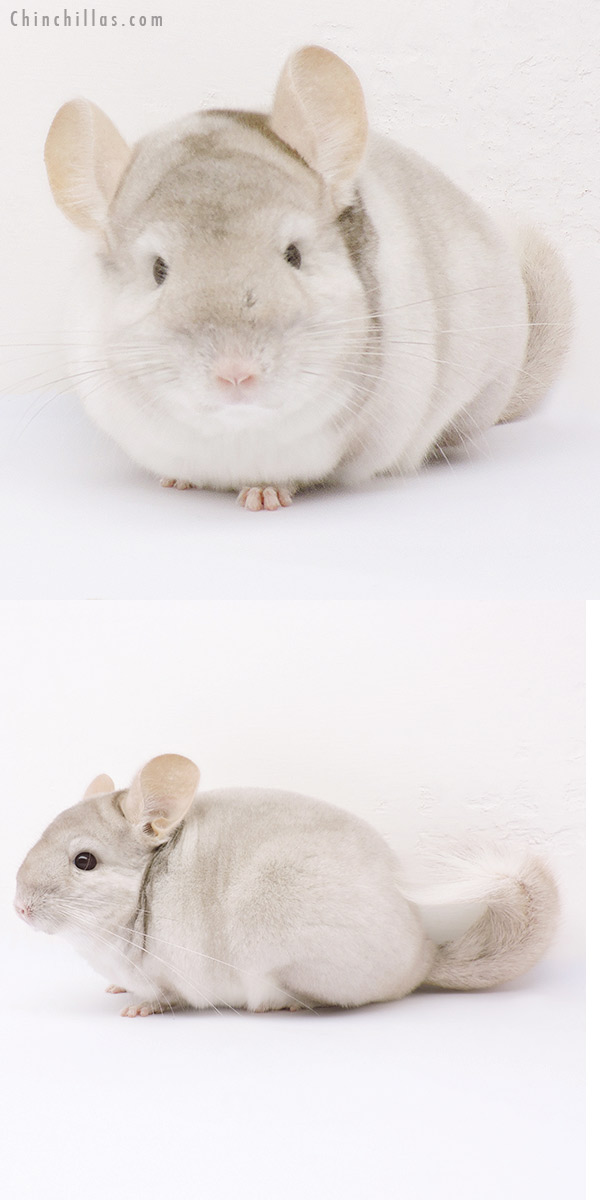 14341 Show Quality Beige & White Extreme Mosaic Male Chinchilla