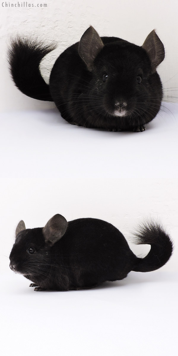 14347 Ebony ( Locken Carrier ) Female Chinchilla