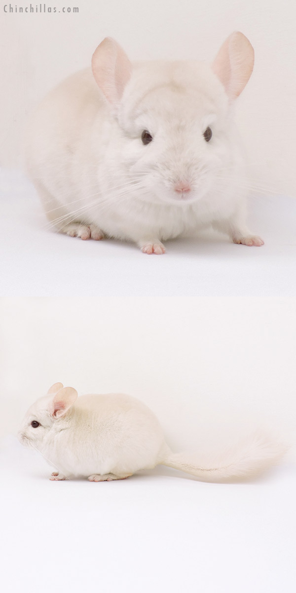 15021 Goldbar Male Chinchilla