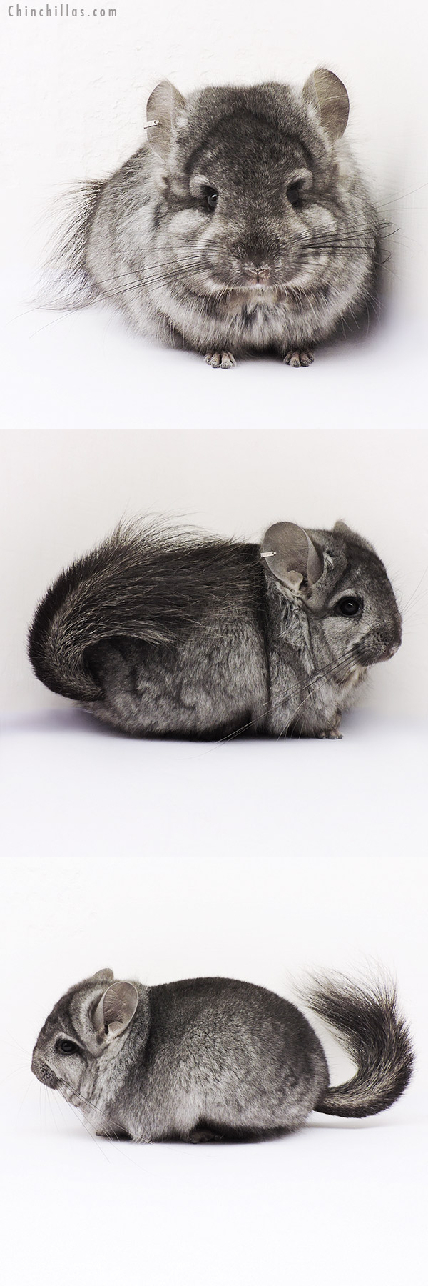 15027 Light Ebony CCCU Royal Persian Angora Male Chinchilla