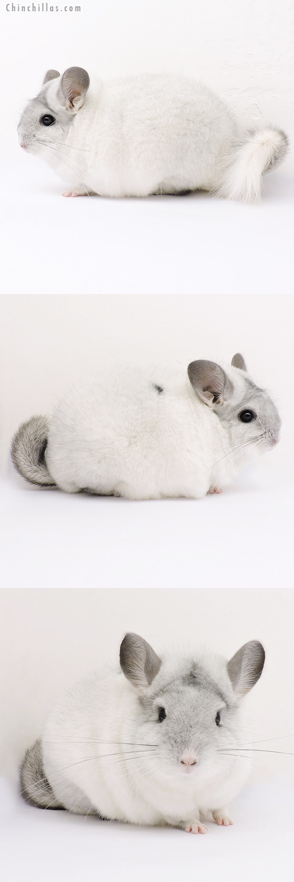 15018 Show Quality Silver Mosaic Female with Body Spot Chinchilla