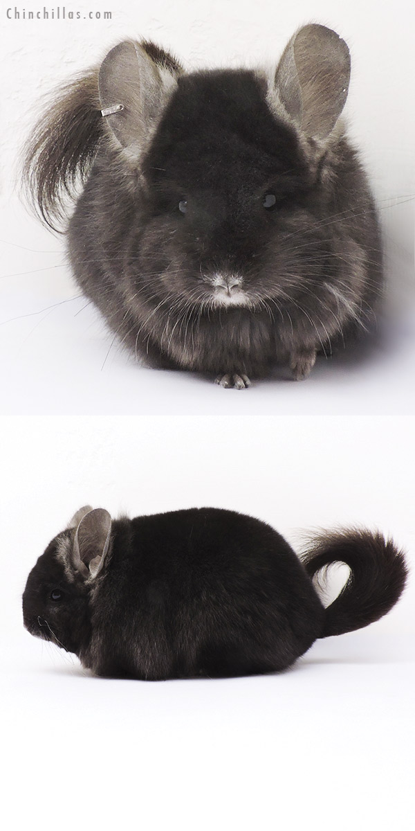 15015 Ebony CCCU Royal Persian Angora Female Chinchilla
