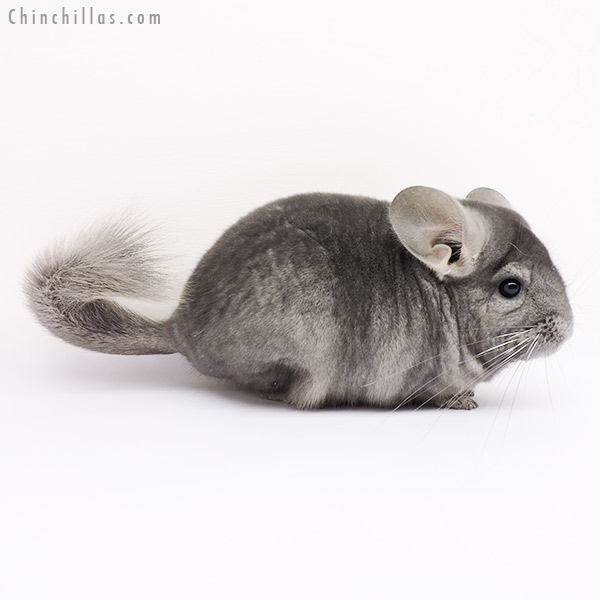 15005 Show Quality Light Wrap Around Sapphire Male Chinchilla
