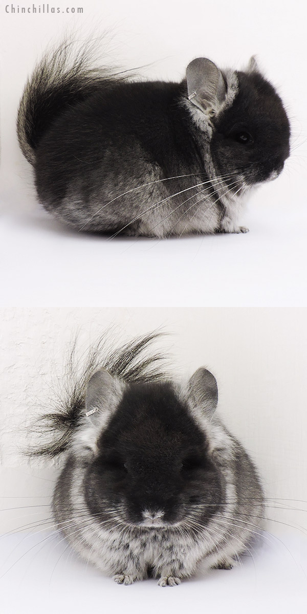 15029 Exceptional Black Velvet CCCU Royal Persian Angora Male Chinchilla