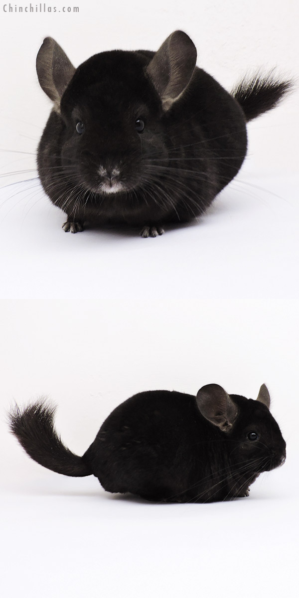 15017 Ebony ( Locken Carrier ) Female Chinchilla