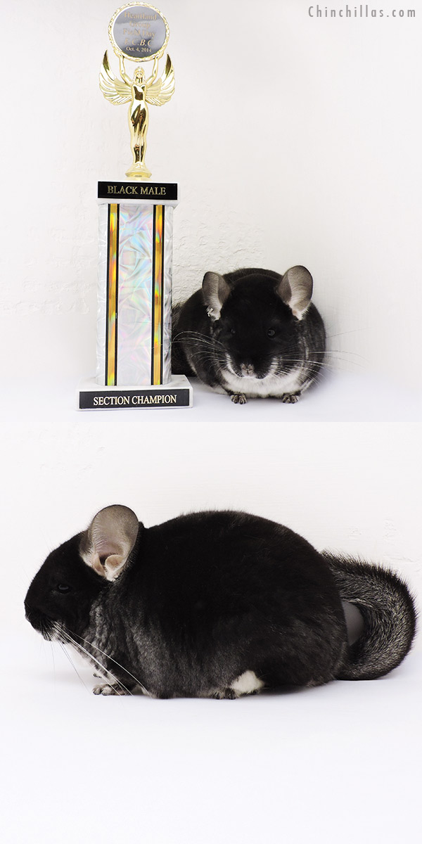 15006 Large Section Champion Black Velvet Male Chinchilla