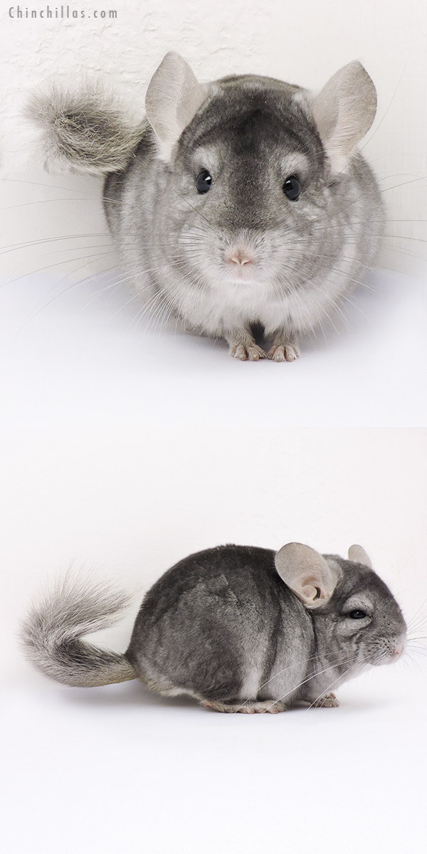 15023 Show Quality Sapphire ( Ebony Carrier ) Male Chinchilla