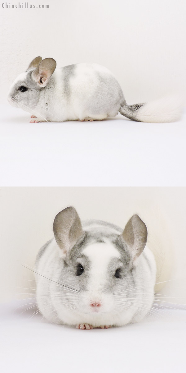 15031 Show Quality White Mosaic ( Violet Carrier ) Male Chinchilla