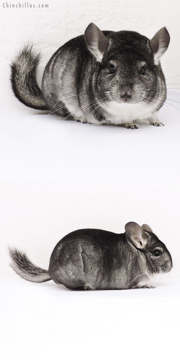 15055 Show Quality Standard Female Chinchilla