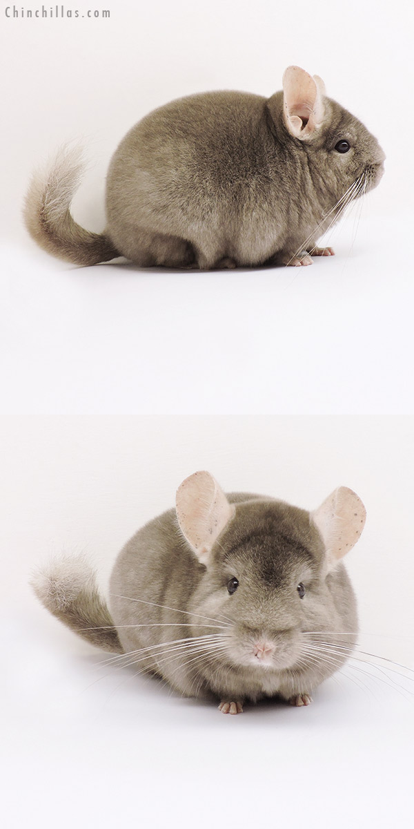 15066 Premium Production Quality Tan Female Chinchilla