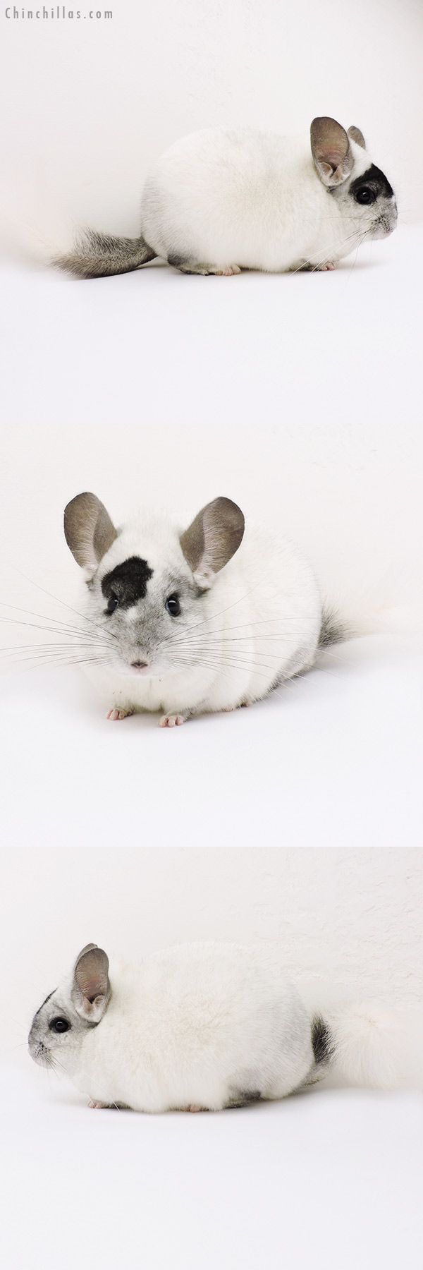 15067 Premium Production Quality Extreme Mosaic Female Chinchilla
