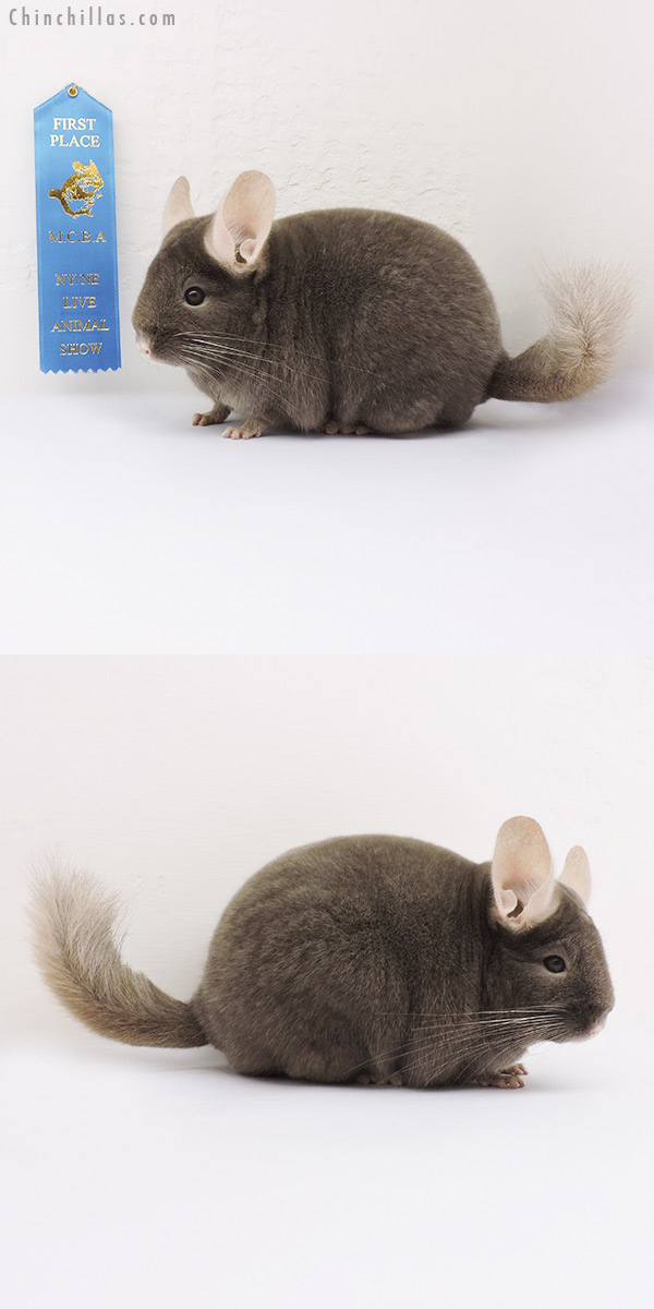 15086 Phase Champion Tan Female Chinchilla