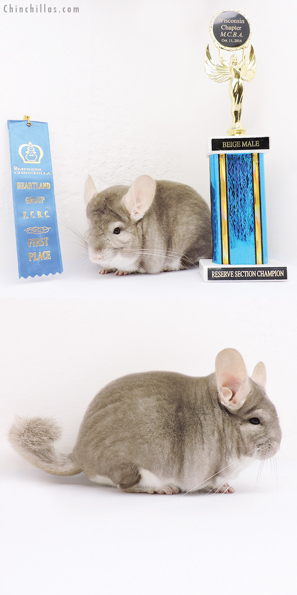 15032 Large 1st Place & Reserve Section Champion Beige Male Chinchilla