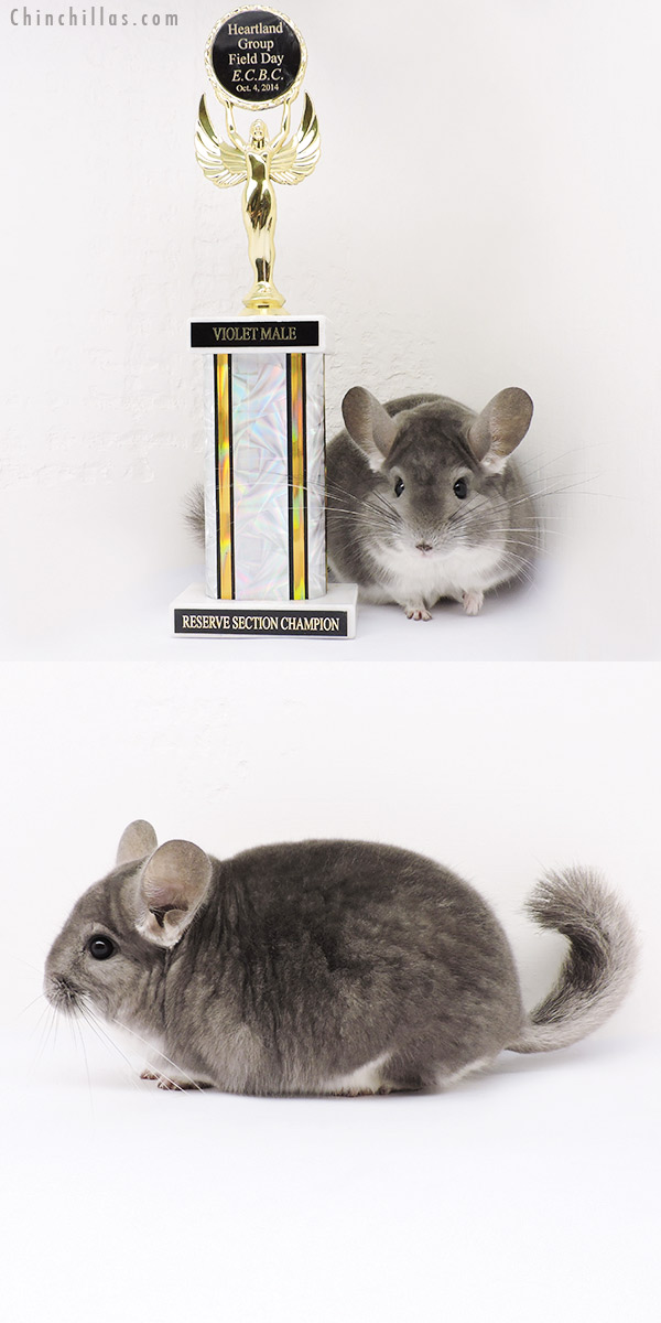 15034 Large Reserve Section Champion Violet ( Sapphire Carrier ) Male Chinchilla