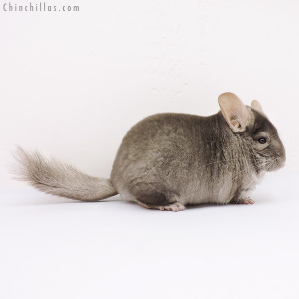 15035 Extra Large Show Quality Tan Male Chinchilla