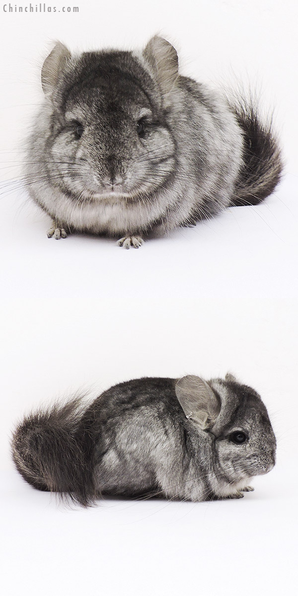 15038 Light Ebony CCCU Royal Persian Angora Male Chinchilla