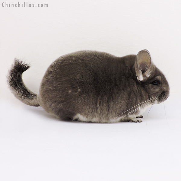 15047 Show Quality Violet Female Chinchilla